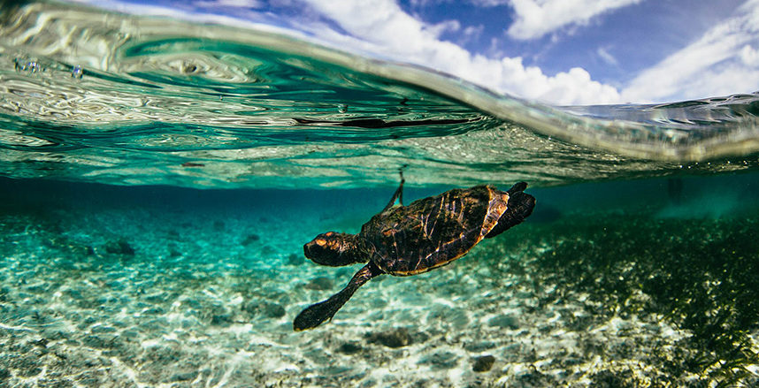 turtle in the shallow waters